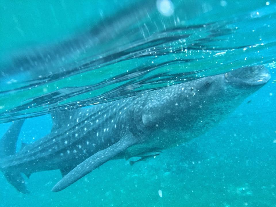 Oslob Whale Sharks Animal