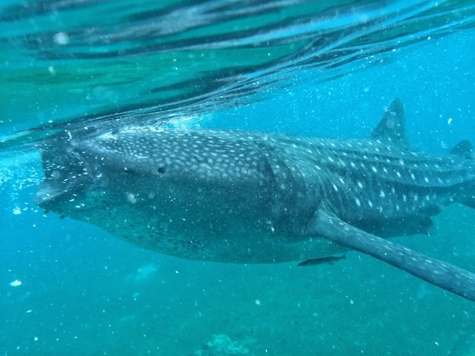 Oslob Whale Sharks Beauty